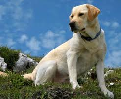 Labrador retriever blanco