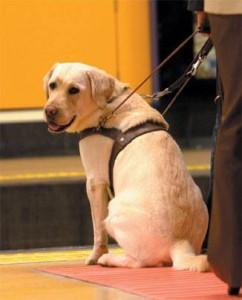 Imagen de un Perro Guía con Arnés