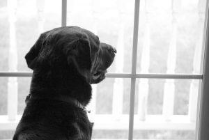 Perro labrador-retriever